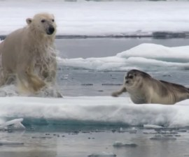 Persecución animal - Oso polar vs foca