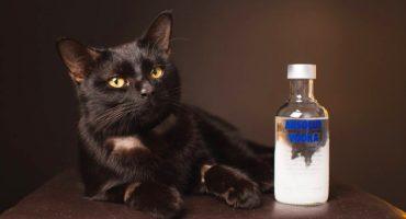¡Bendito alcohol!: gato que tomó anticongelante se salva al beber vodka