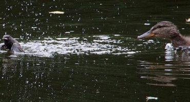 Mágico mundo animal: ahora los patos devoran a otras aves