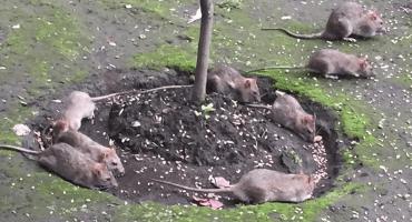 La nueva atracción de Coyoacán: Una bonita familia de... ¡¿RATAS?!