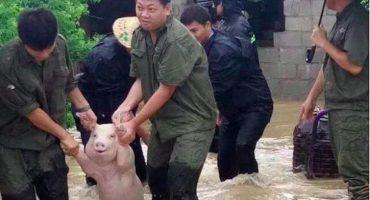 Un cerdo sonríe tras su rescate y provoca una guerra de Photoshop