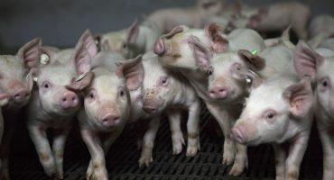 Los cerdos podrían convertirse en donantes de órganos