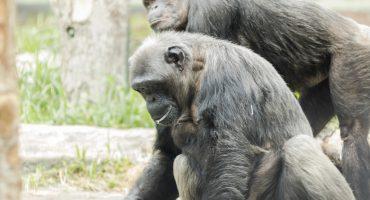 Se detectan los primeros casos de Alzheimer en chimpancés