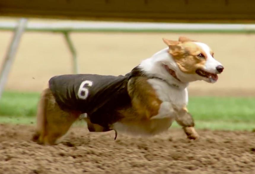 Carreras de perritos corgi