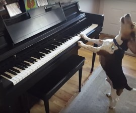 Buddy Mercury - Perrito pianista
