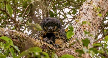 Fotografían a especie de mono que se creía perdida en el Amazonas