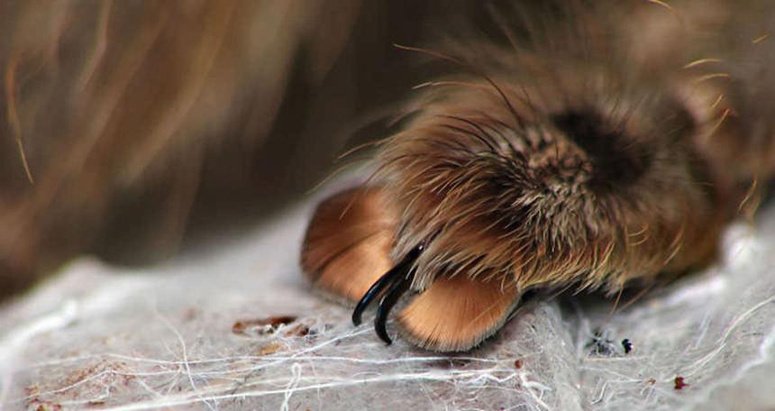 Patita de araña con pelo