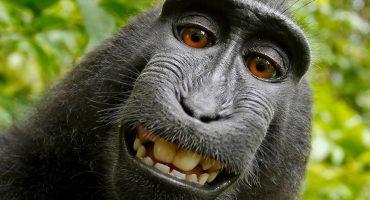 It's evolution, baby! El ser humano gana batalla legal por la 'selfie' del mono