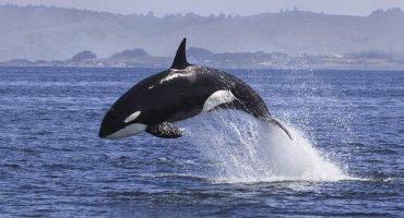 Orcas se ponen a surfear en Noruega