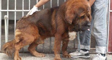 Jueces ordenan cortar cuerdas vocales a perros por quejas de vecinos