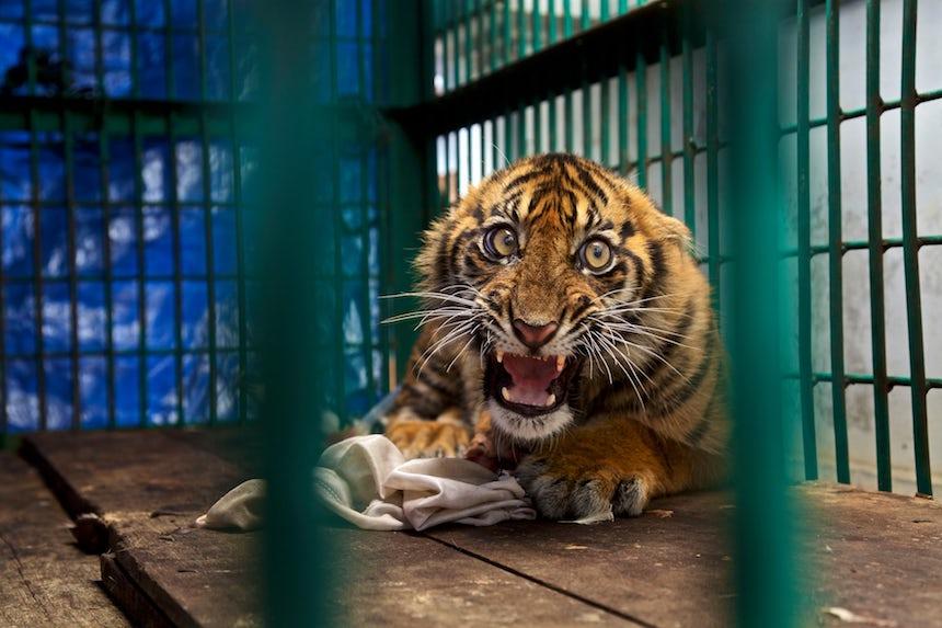 Wildlife Photographer of the Year 2017 - Tigre de Sumatra