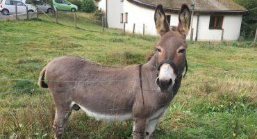 Un burro muy listo: asno confunde un McLaren con una zanahoria