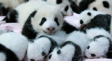 11 fotos de pandas bebés porque siempre es un buen día para ver pandas bebés 🐼