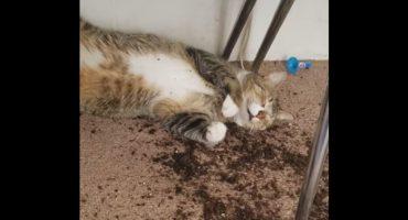 Esto es lo que le pasa a un gatito si come marihuana 😹