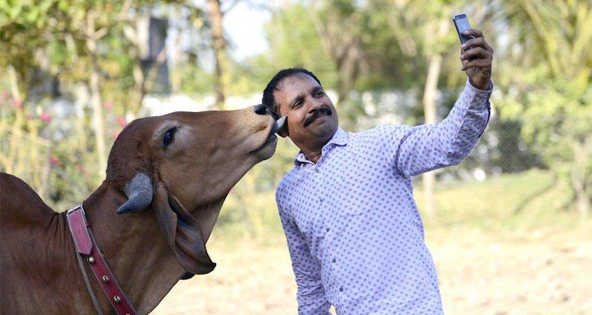 La Inda y su app para proteger a las vacas