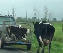 Video - Cuando separan a una vaca de sus becerros