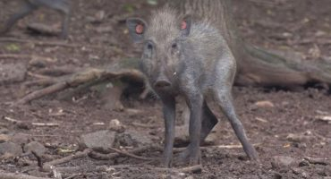 Científicos graban por primera vez al cerdo más feo del mundo