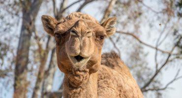 Trampas y Botox: Controversia en un concurso de belleza (de camellos)