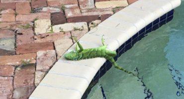 Lagrimita mil: Iguanas caen congeladas de los árboles por el bendito frío