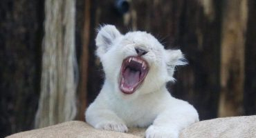 ¿Kimba, eres tú? Hacen concurso para nombrar león blanco en Tlaxcala