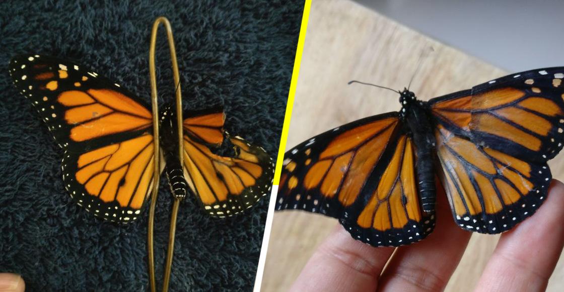 ¡Mujer realiza exitoso trasplante de ala a una Mariposa Monarca!