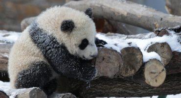 AWW! Estos pandas jugando con un muñeco de nieve son todo lo que necesitas ver hoy 😍