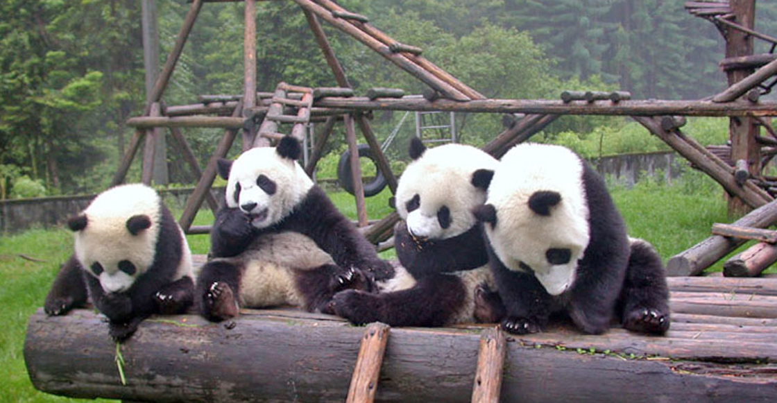 Awwww! Ve el trailer del documental en IMAX sobre pandas bebé