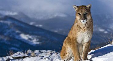 Malas noticias: El puma del este de Norteamérica se ha extinguido 😔