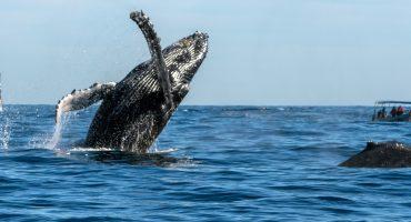 ¡Llegaron las ballenas a Baja California Sur! 🐋🐋
