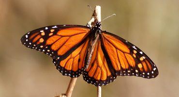 Mariposas monarca disminuyen en Estados Unidos