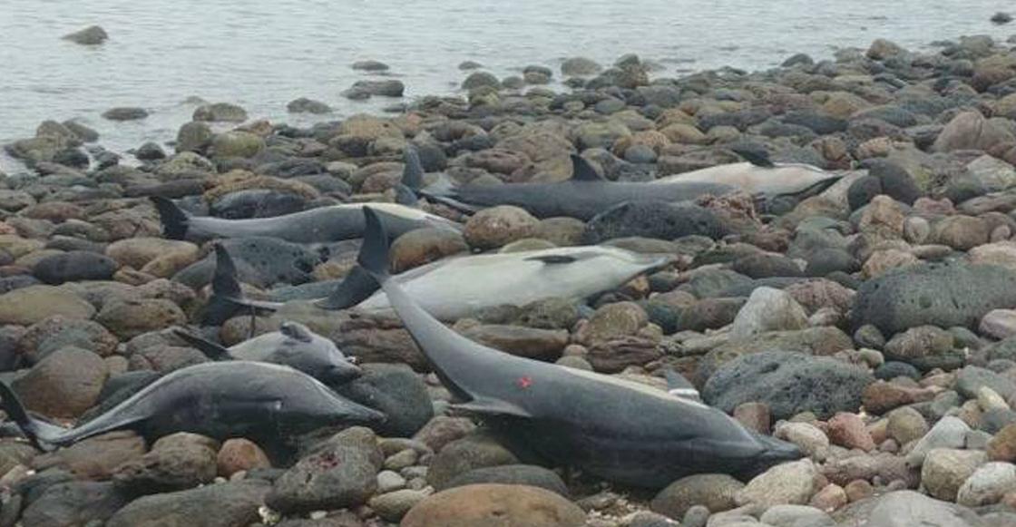 Encuentran 54 delfines varados en playa de Baja California Sur ☹️🐬