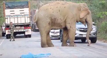 ÑAM ÑAM! A este elefante no le importó parar el tráfico, sólo quería comer
