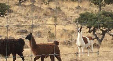 Encuentran animales exóticos en otros cuatro ranchos asegurados a César Duarte