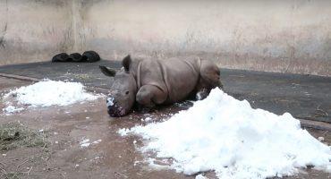 Awww! Mira a este rinoceronte bebé jugar con nieve por primera vez