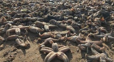 Miles de estrellas de mar aparecen muertas en Reino Unido