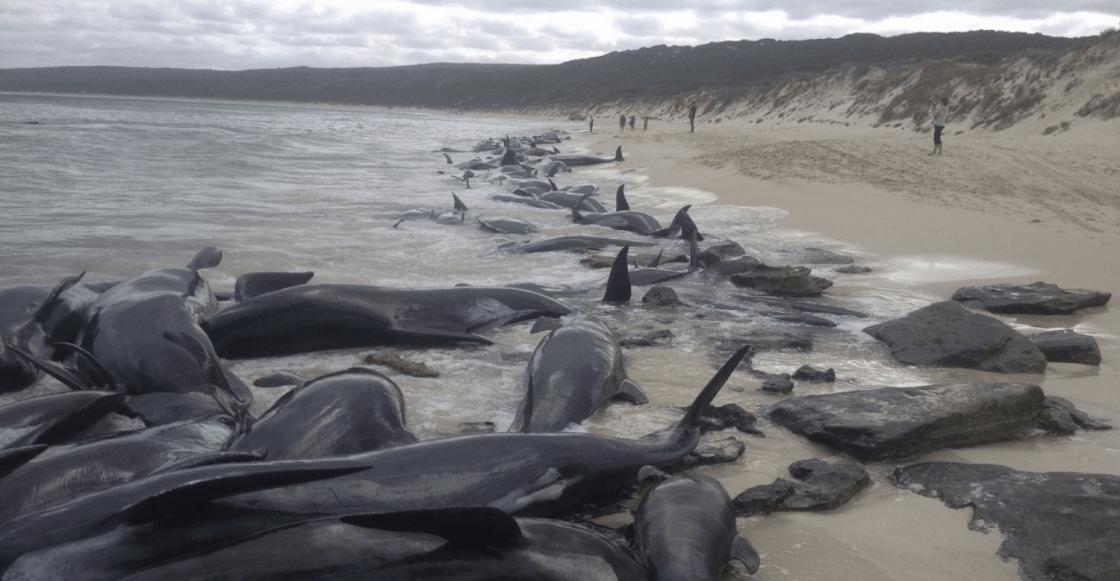 ballenas varadas en playa de Australia