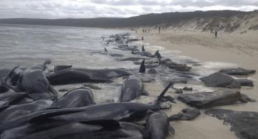#Insólito: más de 150 ballenas quedan varadas en una playa de Australia