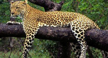 México, Guatemala y Belice crearán una zona de protección para el jaguar