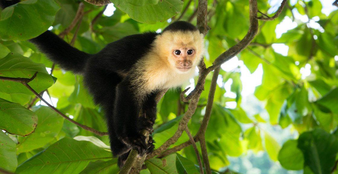 Qué pasó con el mono fugitivo de Reforma?