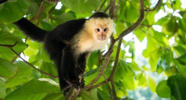 ¿Qué pasó con el mono fugitivo de Reforma?