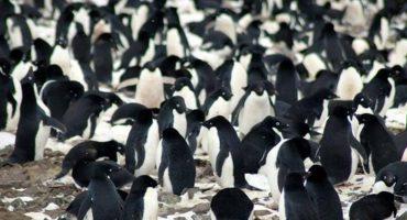 Descubren una colonia de millón y medio de pingüinos en la Antártida 🐧