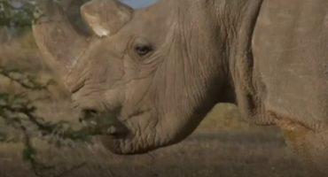 Murió Sudan, el último rinoceronte blanco macho que existía en el mundo