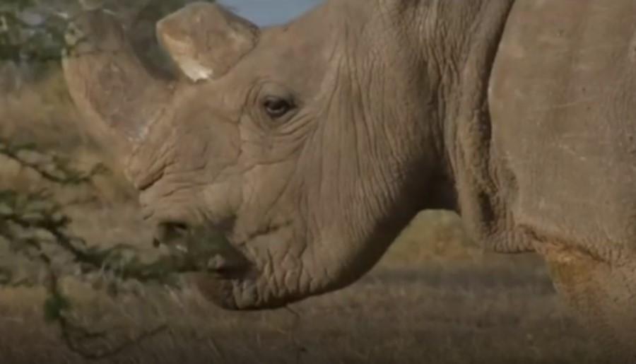 Sudan, el último rinoceronte blanco macho que existía en el mundo