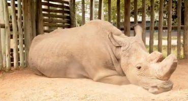 El último rinoceronte blanco que queda en el mundo está al borde de la muerte 😞