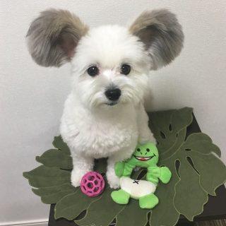 Conoce a Goma, el perrito con orejas de Mickey Mouse