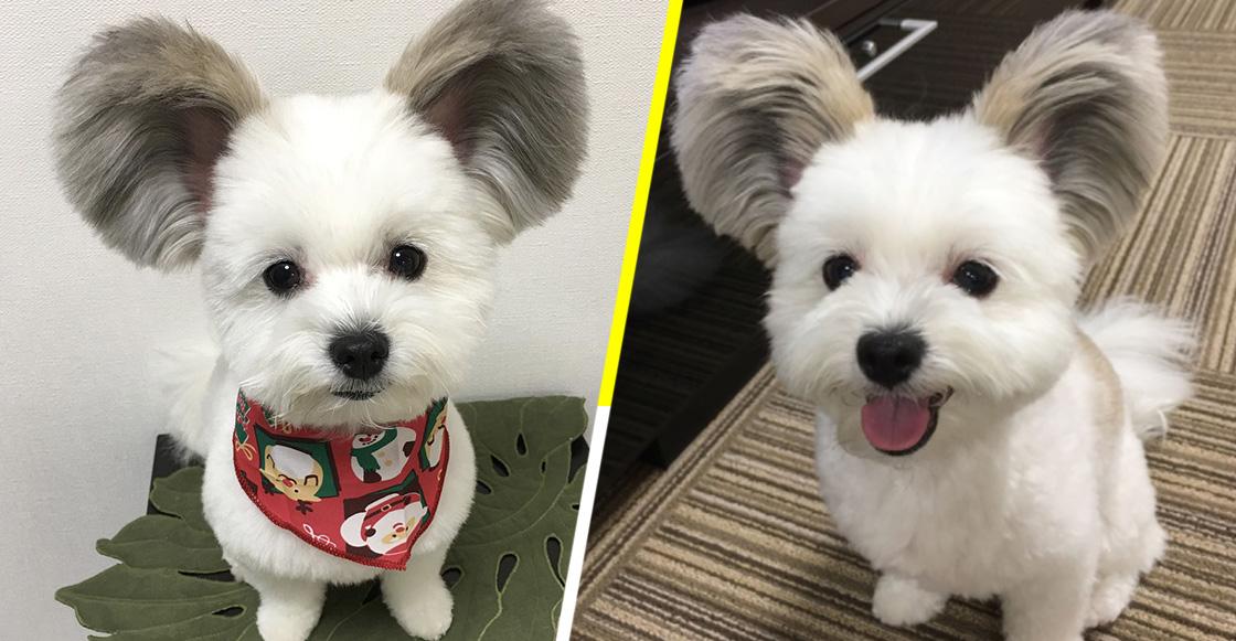 Conoce a Goma, el perrito con orejas de Mickey Mouse que se ha robado nuestro corazón