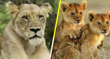 3 leones adultos y 8 cachorros fueron envenenados en un parque de conservación en Uganda