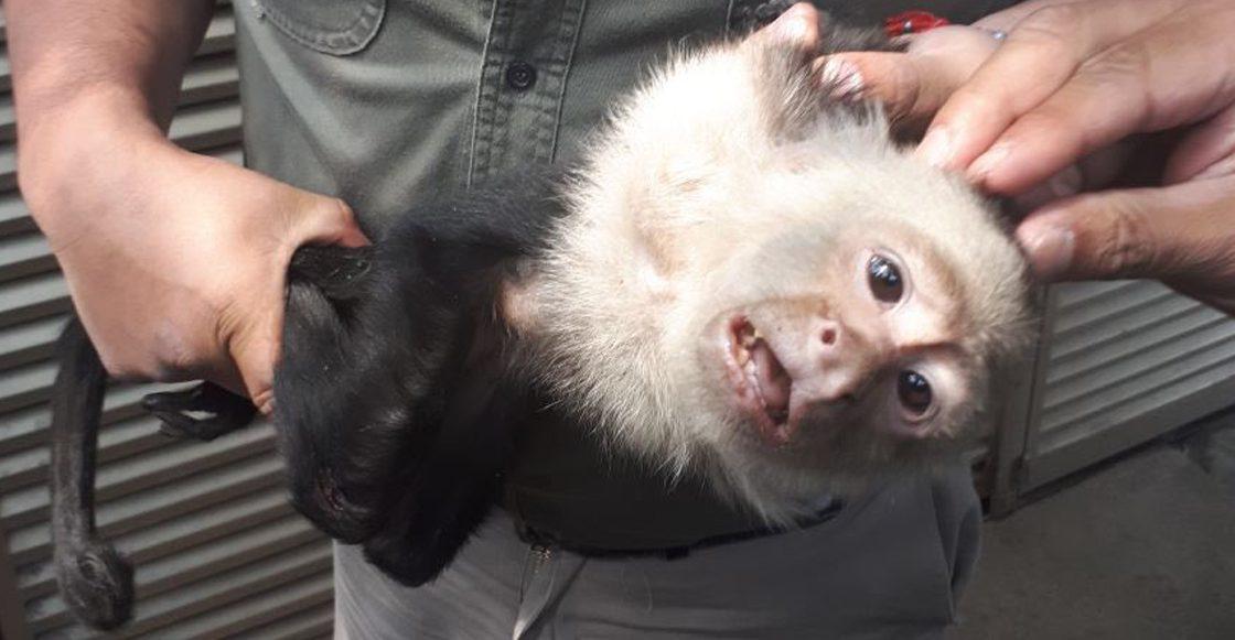 El mono capuchino de la CDMX ha sido detenido