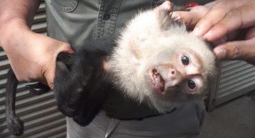 #FreeCapuchino: ¡Ya atraparon al mono capuchino de la CDMX! 