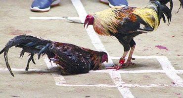 Y en Tlaxcala... Congreso aprueba declarar patrimonio cultural a las peleas de gallos
